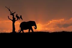 заход солнца африканского слона Стоковое Изображение RF