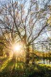 Заход солнца в ветвях старого дуба Стоковое Фото