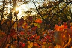 Заход солнца в красных кустах Стоковые Изображения