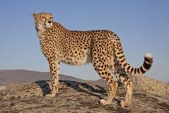 заход солнца гепарда Стоковые Фото