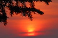 заход солнца ели ветви Стоковая Фотография RF