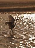 заход солнца индейца цапли Стоковое фото RF
