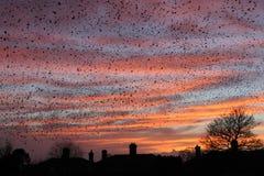 Заход солнца и Starlings Стоковые Изображения RF