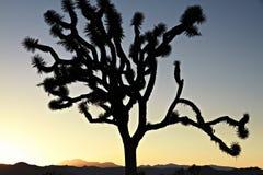 Заход солнца Калифорнии с деревом Иешуа силуэта Стоковая Фотография RF