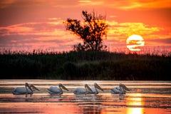 Заход солнца колонии пеликана в перепаде Румынии Дуная Стоковое Фото