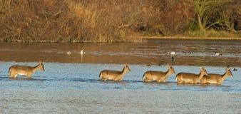 заход солнца лагуны deers скрещивания залежный Стоковое Изображение RF