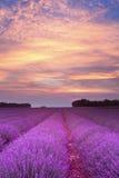 заход солнца лета лаванды стоковая фотография rf