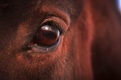 заход солнца лошади глаза Стоковые Изображения