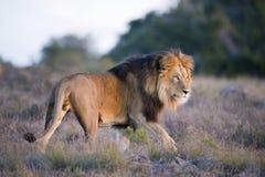 заход солнца льва Стоковое Изображение
