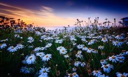 Заход солнца маргаритки стоковое изображение