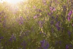 Заход солнца над полевыми цветками фиолетовыми поля стоковые фотографии rf