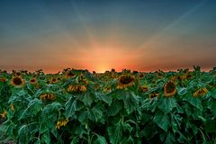 Заход солнца над полем солнцецветов стоковые фотографии rf