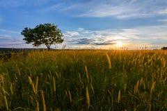 Заход солнца над полем с сиротливым деревом стоковые фотографии rf
