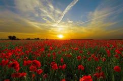 Заход солнца над полями мака летом стоковая фотография rf