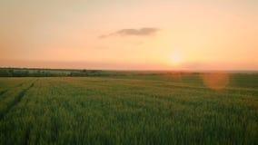 Заход солнца над пшеничным полем акции видеоматериалы