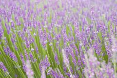 Заход солнца над фиолетовыми цветками лаванды Стоковое Фото