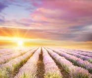 Заход солнца над фиолетовым полем лаванды Стоковое Фото