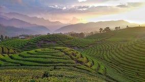 Заход солнца на плантации чая стоковая фотография