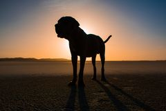 Заход солнца на пляже с неаполитанским mastiff Стоковые Изображения RF