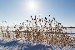 Заход солнца на фоне сухих тростников в зиме Стоковое Изображение
