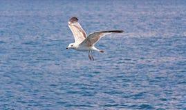 заход солнца Одиночная чайка в полете против моря Стоковое Изображение RF