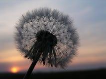 заход солнца одуванчика романтичный Стоковое фото RF