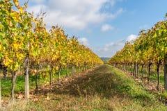 Заход солнца осени на виноградниках вокруг Святого-Emilion с виноградиной холмов Стоковое Изображение RF