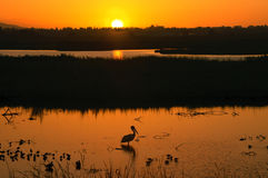 заход солнца пеликана Стоковые Фото
