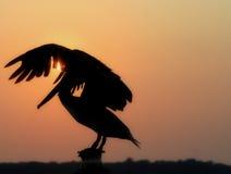 заход солнца пеликана Стоковое Изображение RF