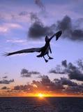 заход солнца пеликана Стоковая Фотография