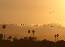 заход солнца пеликанов Стоковая Фотография