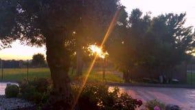 Заход солнца перед оливковым деревом с солнцем излучает фильтрующ ветви видеоматериал