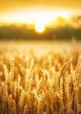 Заход солнца пшеничного поля лета стоковая фотография