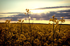 заход солнца рапса поля Стоковая Фотография