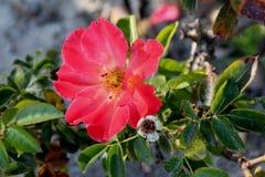 Заход солнца Розы испанский, сорт растения Floribunda розовый стоковое фото