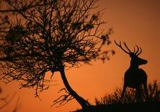 заход солнца самеца оленя Стоковое Фото