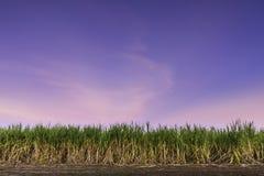 Заход солнца сахарного тростника стоковое фото rf