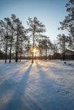 Заход солнца светя через древесину сосны стоковые фото