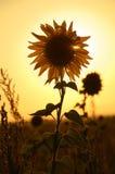 заход солнца солнцецвета Стоковая Фотография RF