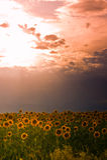 заход солнца солнцецвета colorado Стоковое Изображение RF