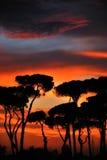заход солнца сосенок Стоковое Изображение RF