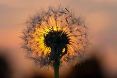 заход солнца сплавленный одуванчиком Стоковая Фотография RF