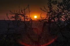 Заход солнца среди оливковых дерев стоковые фото