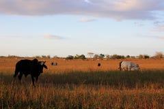 Заход солнца с коровами в поле, Венесуэле Стоковое Изображение RF