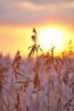 заход солнца травы предпосылки высокий Стоковые Фотографии RF