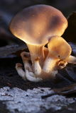 заход солнца устрицы гриба Стоковое Изображение