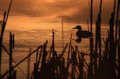 заход солнца утки Стоковые Фото