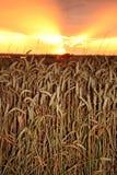 заход солнца хлебоуборки Стоковая Фотография