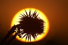 заход солнца цветка Стоковая Фотография