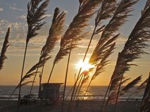 Заход солнца через траву Пампаса, пляж Torrance, Лос-Анджелес, Калифорнию Стоковое фото RF